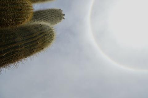 Cactus en Humahuaca, Jujuy, Argentina